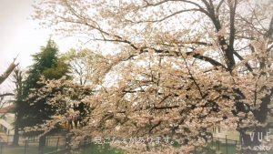 井野団地の100本桜 満開中!