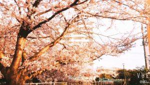 井野団地100本桜、30秒版です。