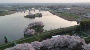 さくら荘の桜は、満開です