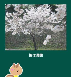 取手の桜は、ほどよく咲いているのが良いです