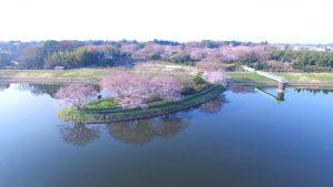 Drone 4K 茨城県取手市 さくら荘 水神岬 5分咲き
