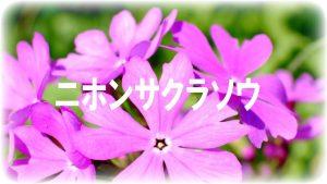 春の河川敷に咲く花々「ニホンサクラソウ」