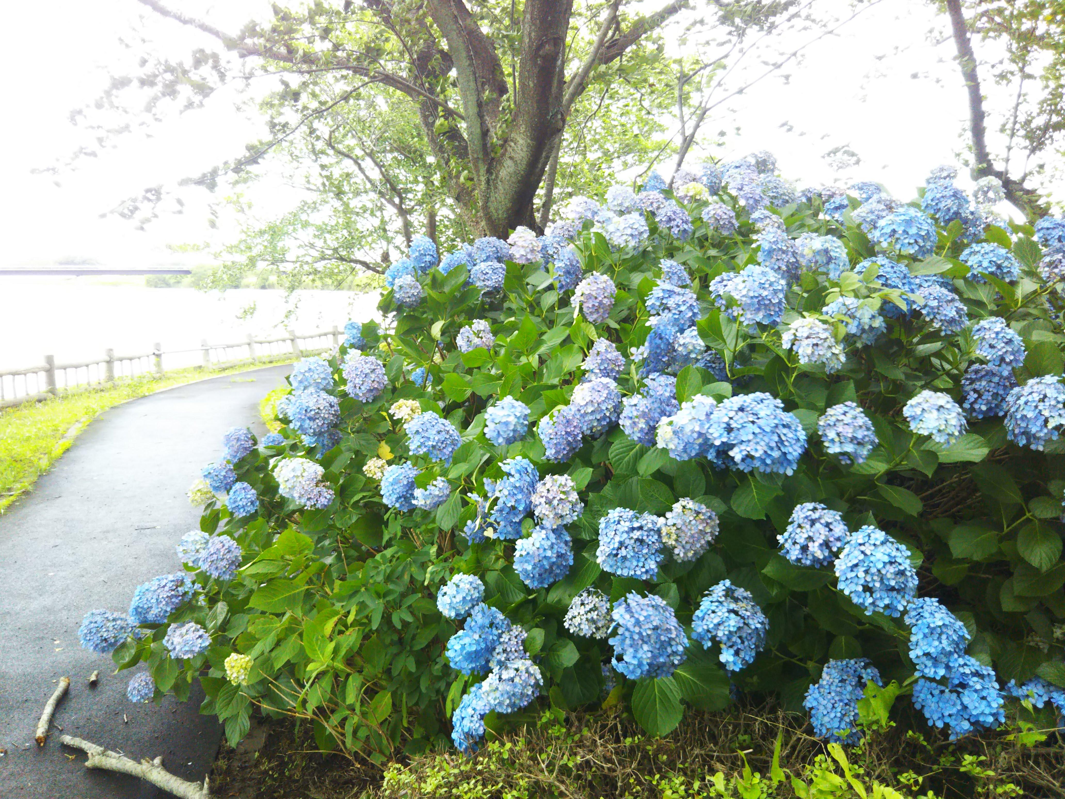 岡堰水神岬公園の紫陽花もそろそろ見納め