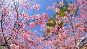 満開の河津桜(令和3年3月3日)