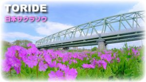 JR常磐線橋梁下に咲くニホンサクラソウ