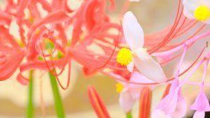 彼岸花&秋海棠が見頃です。