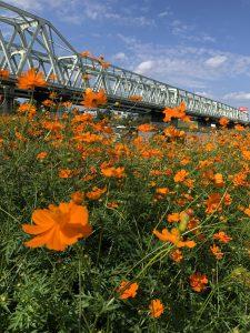 大利根橋の下に咲くオレンジ色のコスモス